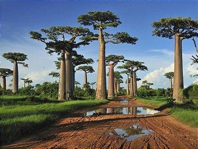 Baobá de Madagascar