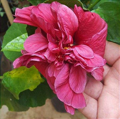 Hibisco Havaiano Dobrado Vinho - Enxertado