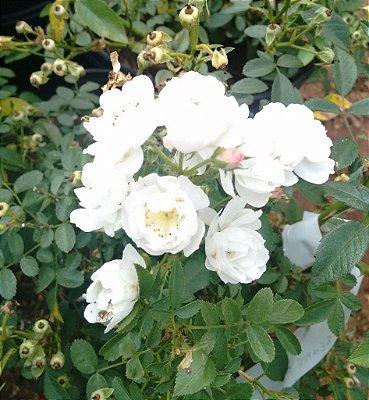 Rosa Sempre Flores Branca