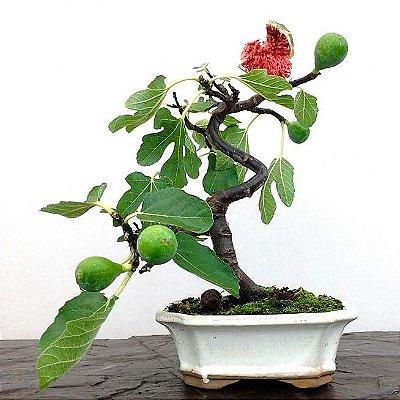 Figo Bonsai