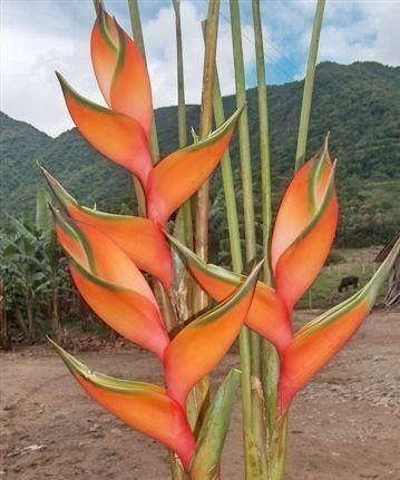 Heliconia Peach Pink - Haste floral ascendente