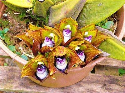 Orquídea Bifrenaria Tetragona - Muda