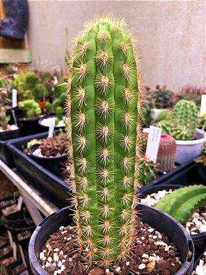 Cacto Haageocereus Acranthus