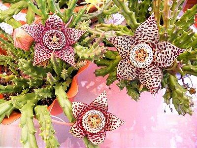 Cacto Orbea Variegata - Mini Flor Estrela