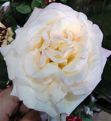 Rosa Gigante Peace cor Original