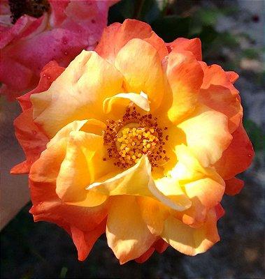 Rosa Sol Tricolor - Enxertada