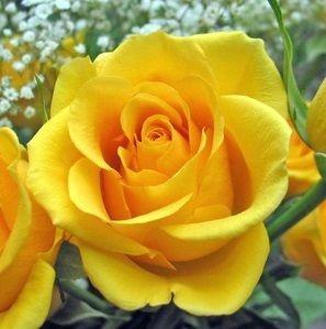 Rosa Amarela Ouro - Enxertada