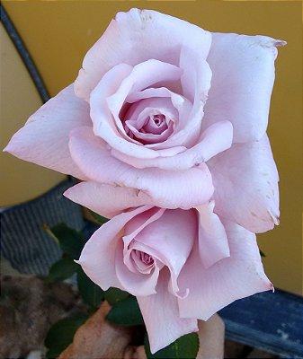 Rosa Azul Claro - Enxertada