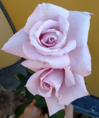 Rosa Azul Prateada - Enxertada