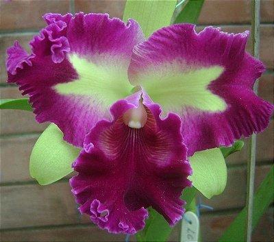 Orquídea Cattleya Lc Prem Fong Yuen