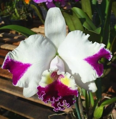 Orquídea Cattleya LC Mild Compton x LC Red Empress X LC  Shellile Compton ''BIG CHINA""