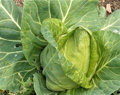 Repolho Coração-de-Boi - Kit c/ 20 sementes