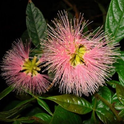 Inga Anão de Flores Róseas e Frutas Saborosas