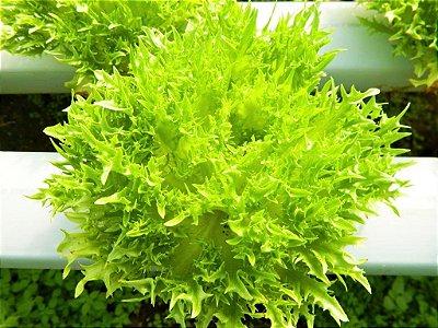 Alface Itaúna Frisée - Kit c/ 10 sementes