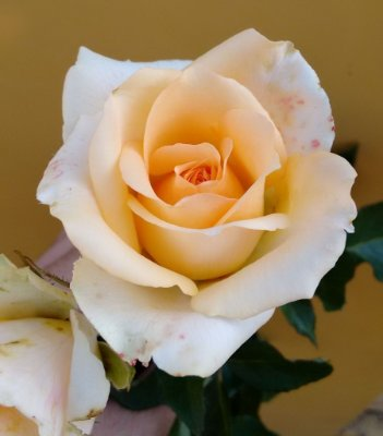 Rosa Champanhe - Enxertada