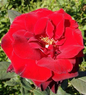 Rosa Vermelho Veludo Enxertada