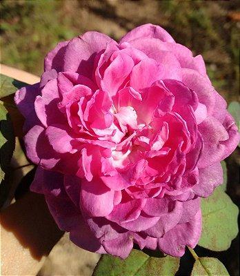 Rosa Pink degrade Escuro Multi Pétalas Enxertada