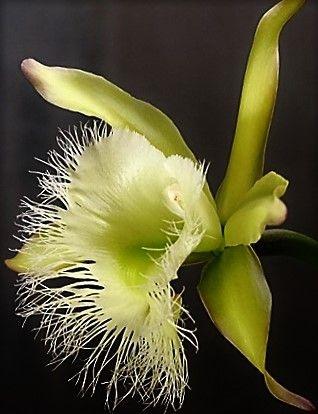 Orquídea Rhyncholaelia digbyana