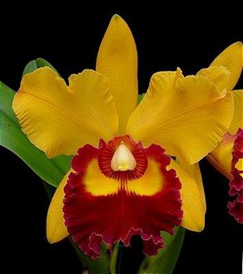 """Orquídea BLC Chunyeah """"Tsun Yea #2"""""""