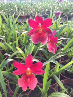 Oncidopsis Nelly Isler - Oncidium Red - Adulta