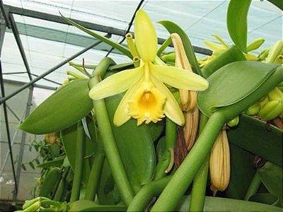Vanilla - Orquídea de onde é extraida a Baunilha - Adulta