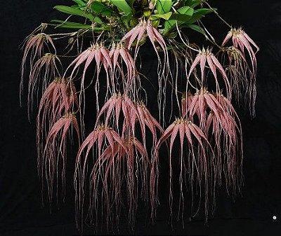 Bulbophyllum Longissimum - Muda T4