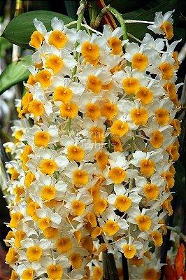 Dendrobium Thyrsiflorum - Muda T2