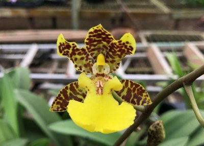 Oncidium Windward Beauty 'Waianae' - Adulta
