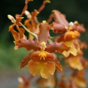 Odontocidium Catatante Pacific Sun King - Muda T4