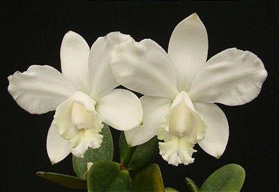 Cattleya Loddigesii var. Alba - Adulta