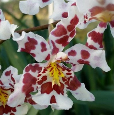 Odontocidium King Diamond Flushed -NBS