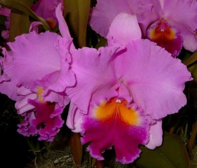 Blc Rose Whisper Suisei - NBS