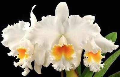 Cattleya Old White - Muda T4