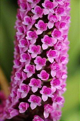 Arpophyllum Giganteum (Micro Orquídea) - NBS