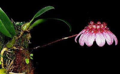 Bulbophyllum Eberhardtii - NBS