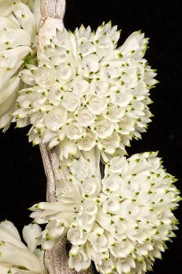 Dendrobium Purpureum Album - NBS