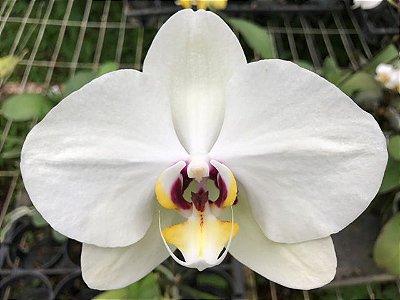 Phalaenopsis N7 - Adulta