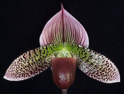 Paphiopedilum Macabre x Sukhakulii N1 (Sapatinho de princesa) - T4