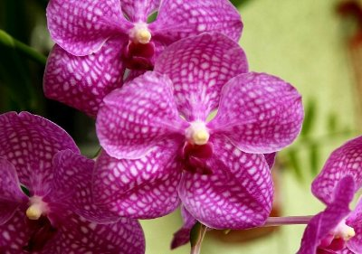 Vanda Pachara Delight 'Pink' - T4