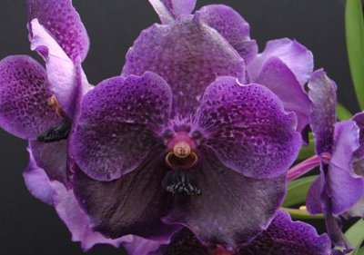 Vanda Pure Wax Purple Blue - T3