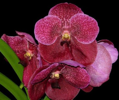 Vanda Robert Delight 'Garnet Beauty' - T3