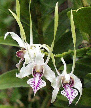 Dendrobium Antenatum - AD