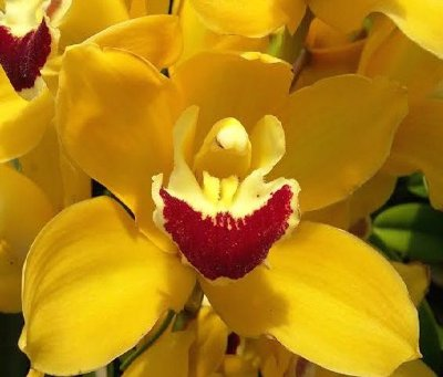 Cymbidium Golden Yellow - T3