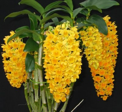 Dendrobium Densiflorum - T3