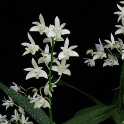 """Dendrobium Kingianum """"Album"""" - Adulto"""