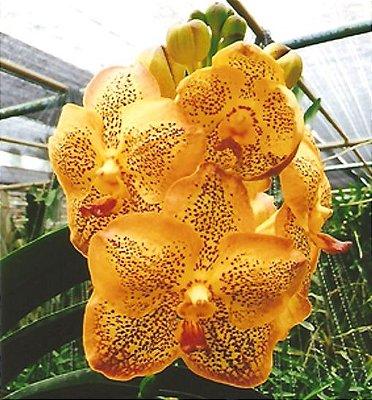 Vanda Thailand Gold - T3