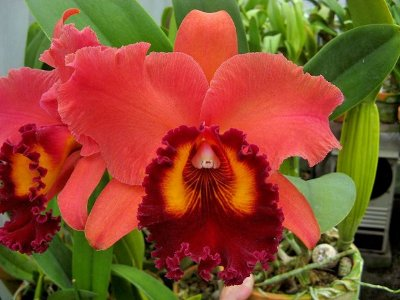 "Blc Sunstate Colorchart ""Red Rose"" - AD"