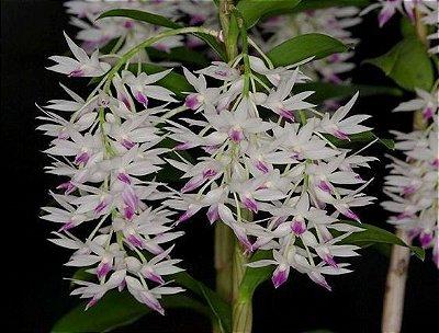 Dendrobium Amethystoglossum - ADULTA