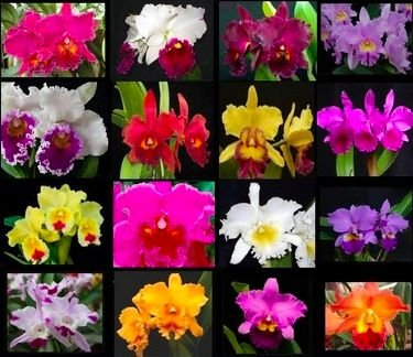 ***FRETE GRÁTIS: 16 Orquídeas Cattleyas Adultas SORTIDAS + 3 Adubos melhor do mundo***