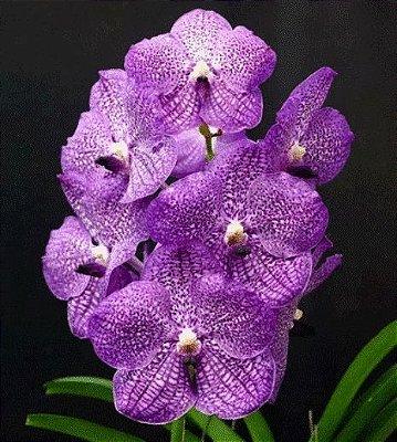 Vanda Gardener's Violet - T3